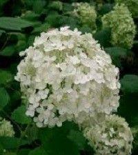 Hydrangea arborescens 'Annabelle' (smooth hydrangea)