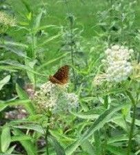 Asclepias incarnata 'Ice Ballet' (swamp milkweed)