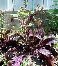 Salvia lyrata 'Purple Knockout' (lyre-leaf sage)