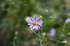 Aster (Symphyotrichum) laevis (smooth aster)