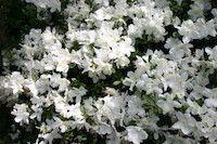 Rhododendron 'Delaware Valley White' (evergreen azalea)