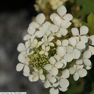 Hydrangea quercifolia 'Pee Wee' (oakleaf hydrangea)