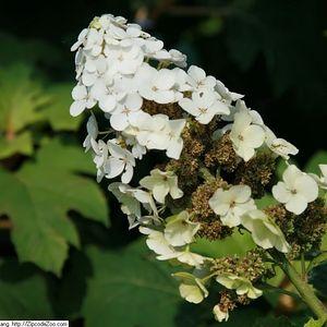 Hydrangea quercifolia 'Snow Queen' (oakleaf hydrangea)