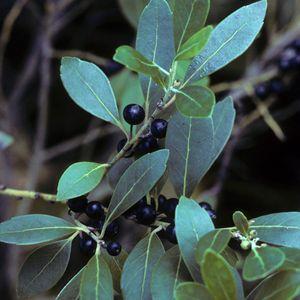 Ilex glabra 'Compacta' (inkberry)