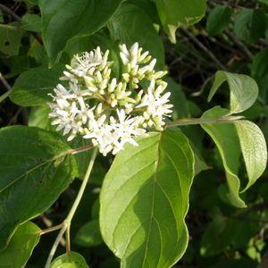 Featured Native Plants Available for Order - March 13