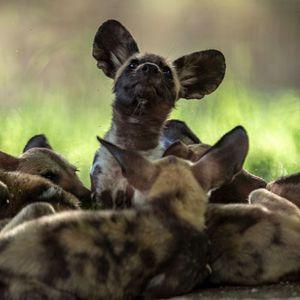 Adoption Promotion - African Wild Dog
