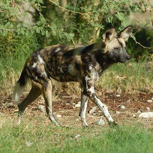 AA African Wild Dog