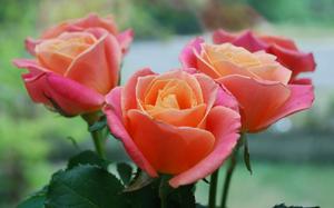 Elegant Rose Cream Class - Apr 25, 2020, 11:00 am - 1:00 pm