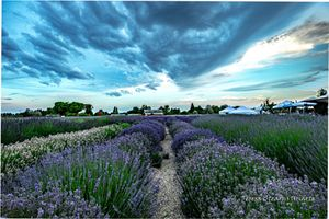 Storm a Brewing over Lavender