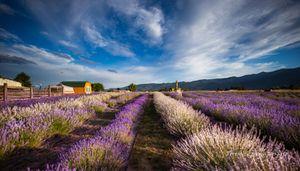 Fields of Lavendar-Elkhorn Farm