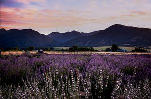 Sunset over Elkhorn Mountains at Elkhorn Lavender Farm
