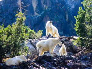 Family of Mountain Goats I