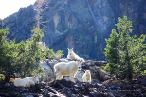 Family of Mountain Goats II