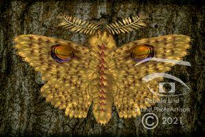 Yellow Eye Moth
