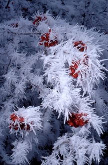 Hawthorn Berry Frost
