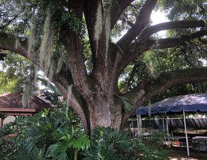 Sheltering Oak Tree
