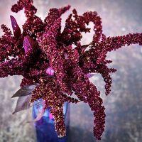 Amaranth 'Hopi Red Dye'