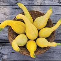 Summer Squash 'Yellow Crookneck'