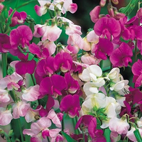 Sweet Pea 'Mixed Colors'