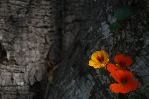 Nasturtiums in Lillingston Canyon