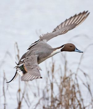 Pledge to the Waterfowl Fund